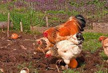 chickens etc
