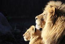 Lions...Hear us roar.