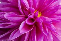 Blumenbilder Dahlien / Die Königin des Herbstes in ihrer vollen Pracht und Schönheit. Dahlien in glühenden Farben.