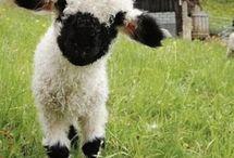 Lambs - Lampola