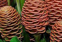 Heliconias & Platanillas / 5imxSp/<->h.