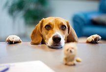 Côté Beagle