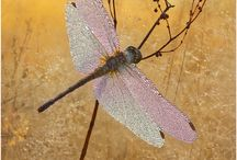Libelle / Dragon - fly