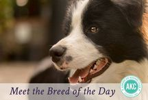 """Border Collie / Border Collies are athletic, medium-sized herders standing 18 to 22 inches at the shoulder. The overall look is that of a muscular but nimble worker. Both the medium-length rough coat and the shorter smooth coat come in a wide variety of colors and patterns. The oval eyes are the focus of an intelligent expression—an intense gaze, the Border Collie's famous """"herding eye,"""" is a breed hallmark. In motion, they are among the canine kingdom's most agile, balanced, and tireless citizens."""