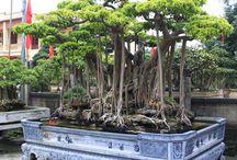 Growing things: Bonsai