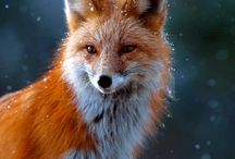 FOX  --  BEAUTIFUL , SWEET .........
