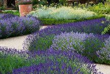English Gardens / Lavender