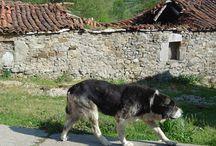 """Perros pastores dLana* / Los """"otros"""" señores del rebaño y de los montes. #ShepherdDog"""