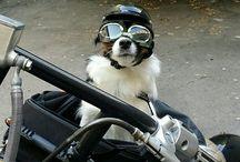 My Harley Davidson bikerdog / My Chihuahua loves to ride my bike!!