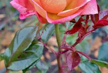 róże i inne kwiaty
