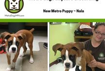 New Metro Dogs & Puppies! / We love to show off our new Metro Dogs Puppies & Dogs, we think you will too! Metro Dogs Daycare & Boarding, Downtown Minneapolis. http://MetroDogsMN.com - (612) 333-3612 #puppies #dogs | dog daycare Minneapolis, doggy daycare, puppy daycare, dog daycare downtown Minneapolis, downtown dogs and puppy love. / by Metro Dogs Daycare & Boarding MN