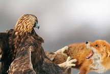 Eagle and fox fighting