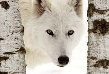 Wolves * Look Into Their Eyes & Know We Are Connected and They Must Be Protected. / One of God's Beautiful Creations  / by Linda Thompson
