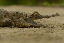 El Caimán Llanero: un tesoro del Orinoco