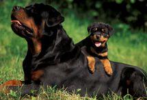 Rottweiler puppy with Dad