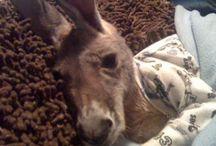 Baby Kangaroos in PJs, etc