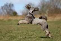 Poodles / Silver standard poodle