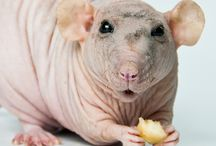 Hairless rats by Svetlana Pagiltseva / Foto Hairless rats by Svetlana Pagiltseva