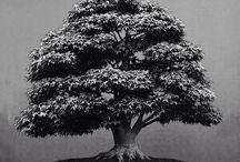 Bonsai Trees / Bonsai Trees