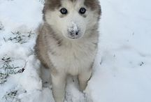 Siberian Husky puppy / Cutest Siberian puppy ever!!!
