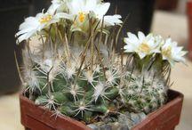 Kaktusy pochádzajúce z Mexika / Pichľavá krása exotických rastlín nového sveta - Strednej Ameriky štátu Mexiko.
