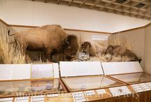 Montana Homeland: Bison Habitat / The bison habitat in the Homeland exhibit at the Montana Historical Scoiety were recently conserved by taxidermist Brion Mitchell / by Montana Historical Society