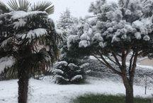 Trachycarpus fortunei / Photos de Trachycarpus fortunei