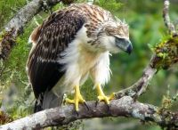 The Philippines - Endangered Endemics 2016 / Our Endangered Endemics birding tour explores the Philippines' three largest islands and covers the best of the remaining habitats in our attempts to find some of the world's most spectacular and threatened birds.