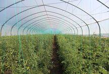 #iKnowHowGrewit #greenpeaceromania / Acceptam provocarea #iKnowHowGrewit lansata de #greenpeaceromania! Gust și sănătate din grădina Tomatina adunate!