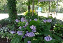 Notre jardin des vivaces d'ombres / Dans ce jardin, nous avons inclus des vivaces poussant très bien à l'ombre tout en nous offrant une belle floraison colorée.