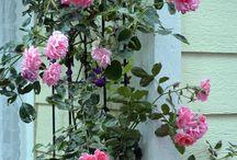 Roses that climb / Roses