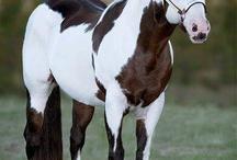 Paint horse (cruza de pinto americano y Qh)