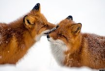 Foxes <3 / The most beautiful animal in the world / by Jessica Rsst