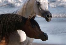 Egyptian arabian horses