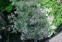 Short plants for dappled shade