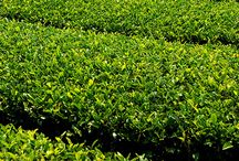 Tea 101 / Information you need to know about tea and its best uses.