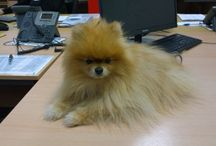 Cookie, The Official Virgin Balloon Flights Mascot / Meet Cookie, a gorgeous Pomeranian and official office dog and mascot for Virgin Balloon Flights.