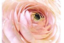 Ranunculus / Ranunculus, flowers