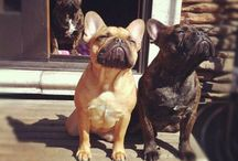 French Bulldogs...because I want one / by Bridgette Raes