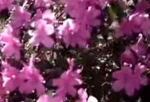 Videos / Our Azaleas--a very short video the next one will be longer.