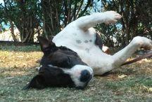 Happy Rascals Amstafs / American Staffordshire Terrier