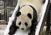 panda i panda