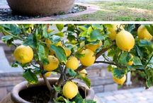 Garden - Potted Fruit Trees