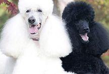 Poodles & Tuxedo Cats / by Britt Cain