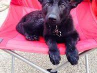 Dogs, Doggies, Puppies... / dogs, photos of dogs, funny dogs, sweet puppies, cachorros, pastos alemao, mastino napoletano, fila brasileiro, caoes, perros y cachorros, psy, szczeniaki, german shephard, Schäferhund
