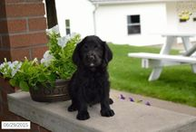 Labradoodles / http://www.buckeyepuppies.com/puppies-for-sale-bep/labradoodle