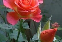 rosa e botão