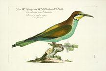 Old bird prints