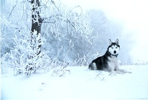 Huskies and such... / by Tony Yaroch