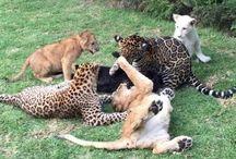 Black Jaguar White Tiger Foundation